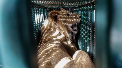 Leeuwen en wolven geëvacueerd uit de Gazastrook