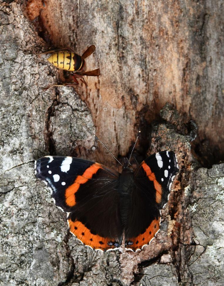 Een hoornaar en een atalanta. Beeld Koos Dijksterhuis