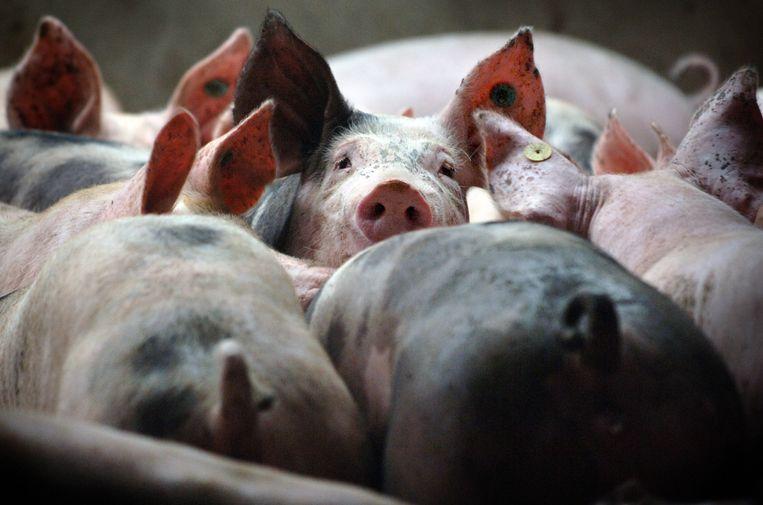 Varkens in de intensieve veehouderij. Beeld Marcel van den Bergh / de Volkskrant.