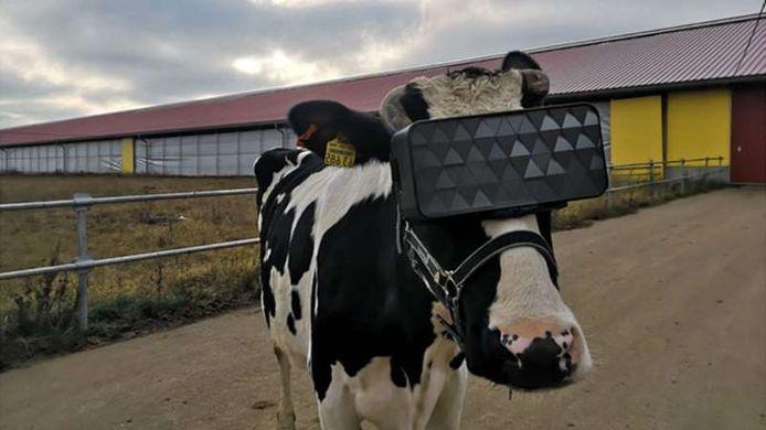 De koeien konden dankzij de VR-brillen genieten van een zonnige weide gevuld met heldergroen gras.