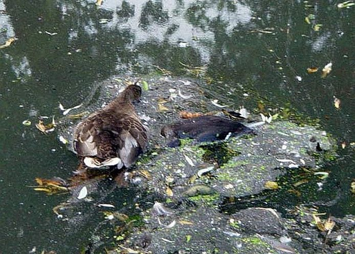 De eenden gingen dood door botulisme.