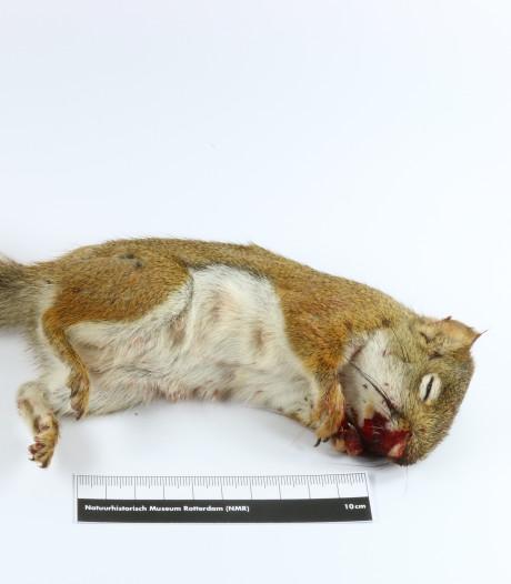 Enige eekhoorn Kralingse Bos is dood: 'Ik voelde nog aan het hartje, maar het klopte niet meer'