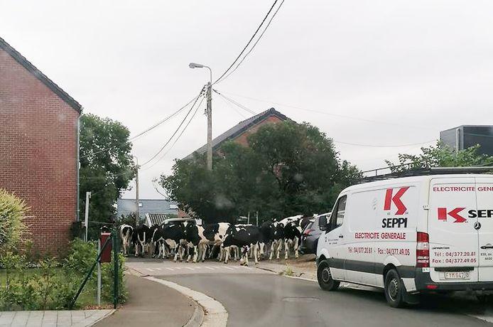 Une vingtaine de vache en liberté ont arpenté plusieurs rues de Fléron, ce mercredi matin.