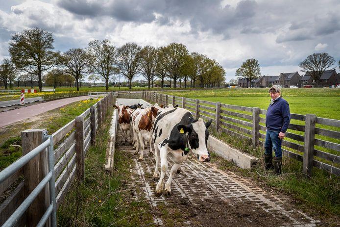 Boer Adrie Scheepers in Heeze maakt met zijn koeien gebruik van een tunnel om onder de weg door naar het weiland te gaan. Foto ter illustratie