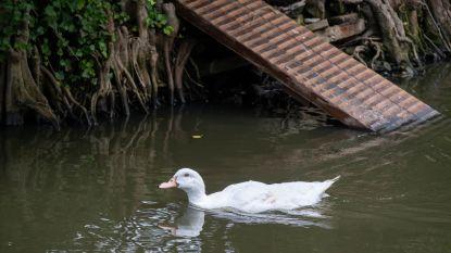 Eend Boemel is terug thuis in wandelpark Heist-Goor: gemeente voorziet eiland van loopplankje