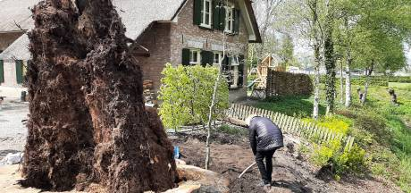 Cirkel van het leven is rond: jonge beuk naast stomp van de eeuwenoude reus geplant in Druten
