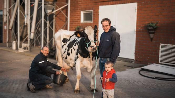 """'Superkoe' in Grote-Brogel is goed voor 145.000 liter melk: """"De Mathieu van der Poel van haar soort"""""""
