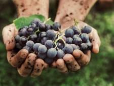 Natuurwijn is populair: 'Het is de enige wijn die wordt gemaakt van alleen druiven'