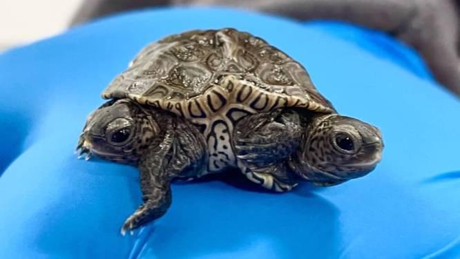 Schildpad met twee hoofden en zes pootjes gevonden in Verenigde Staten