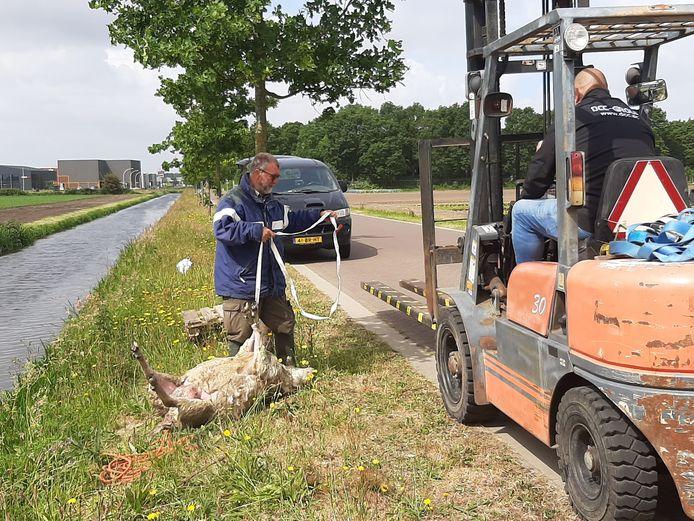 Aan de Mortelweg in Vlijmen heeft de wolf weer toegeslagen. Veearts Roland van Riel hecht een gewond lam