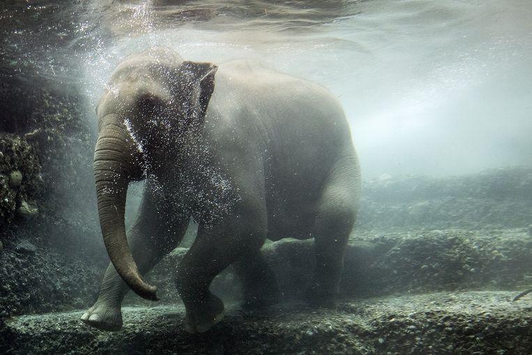 Olifantkoe Omysha ('glimlach') neemt een frisse duik in het water van haar verblijf in de dierentuin in het Zwitserse Zürich. De Aziatische olifant werd daar in juni 2014 geboren. Omysha baarde afgelopen augustus haar eerste jong, maar dat was door de langdurige geboorte zo verzwakt dat het door de kudde werd doodgetrapt. Beeld EPA