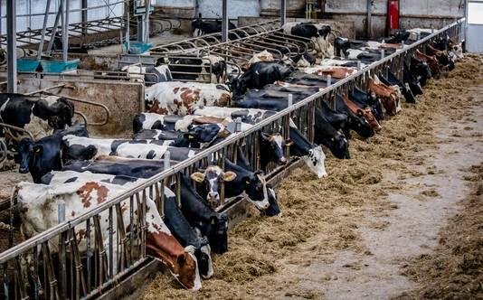 Mede dankzij de grote vraag naar melkproducten en vlees zijn er zoveel koeien in Nederland dat er problemen ontstaan voor milieu en natuur.