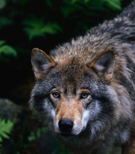 Wolf op landgoed De Utrecht? Zorgen bij schapenboer in Lage Mierde
