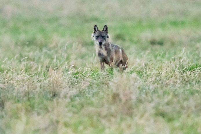Le loup Billy, photographié ici à Berlaar, s'est rendu en France l'année dernière où il a rapidement mordu à mort 25 moutons et bovins. Les chasseurs ont ensuite été autorisés à l'abattre.