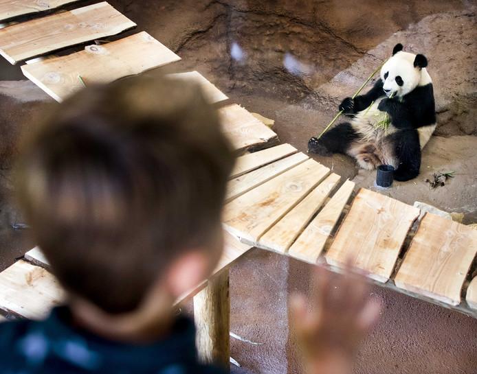 Een panda verorbert een tak bamboe.
