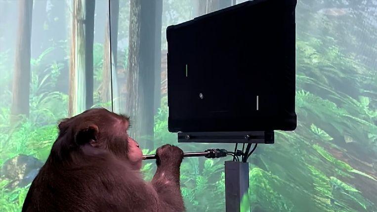Musk laat aapje computerspel via chip spelen Beeld Neuralink