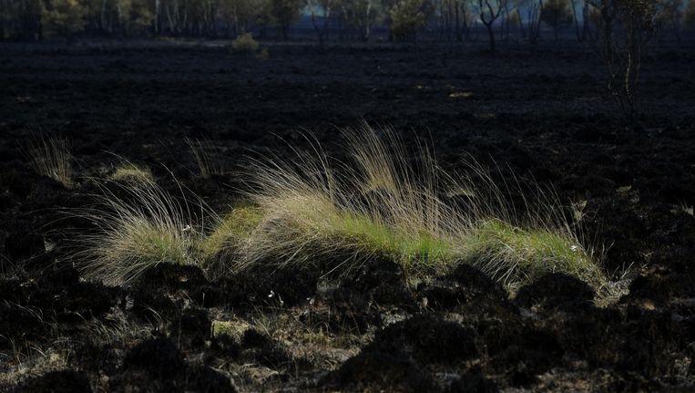 Archiefbeeld uit 2011, toen een grote brand 450 hectare natuur van de De Kalmthoutse Heide verwoestte. Beeld BELGA