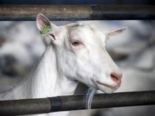 PvdA: 'Geen uitbreiding geitenhouderijen in Hof van Twente'