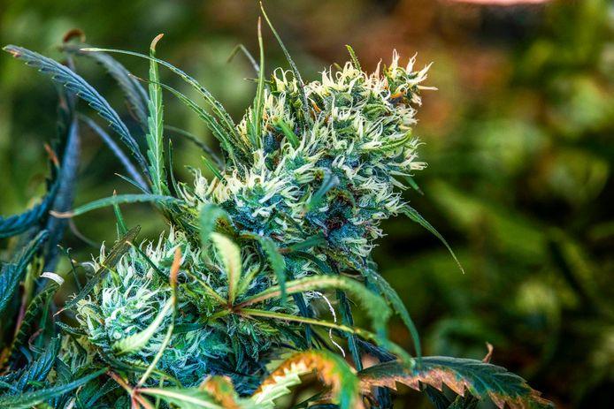Het werkzame thc zit in hars van de bloeitop van de vrouwelijke plant. Mannelijke planten stellen dus vrijwel niks voor. Desondanks staat de rechter kweek ervan niet toe.