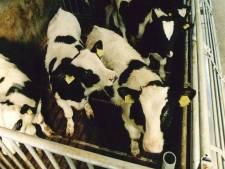 Na kippen en geiten, zitten nu Vlaamse kalveren Wernhout dwars