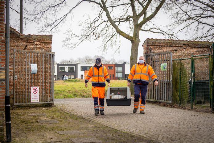 Arbeiders brachten de genezen gans maandagochtend terug naar het Papenhofpark.
