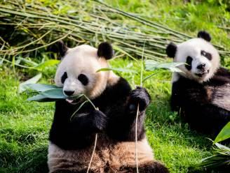 Pandatweeling viert tweede verjaardag en zal nu gauw gescheiden worden van moeder