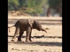 Les premiers pas émouvants d'un éléphanteau