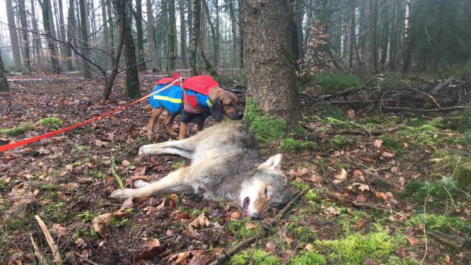 Jong wolfje aangereden, boswachter vindt het gewonde dier dood bij een boom