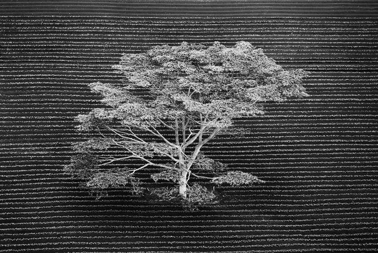 Vanuit een helikopter gezien staat deze afgelegen boom in een gecultiveerd veld aan de rand van een tropisch bos op Kauai, Hawaï.    Beeld Anna Henly