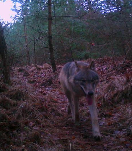 Boswachter Frank kapot van dood jonge wolvin: 'Ze was zwanger'