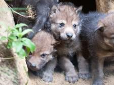 Verdrietig nieuws: drie jonge wolven in Dierenpark Amersfoort in laten slapen