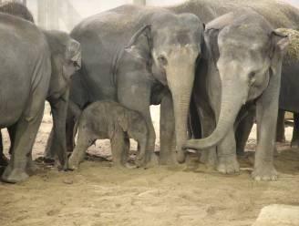 Aziatisch olifantje geboren in Pairi Daiza