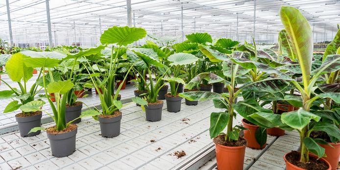 Bij PLNTS.com in Nieuwerkerk aan den IJssel wachten planten om ingepakt te worden voor verzending.