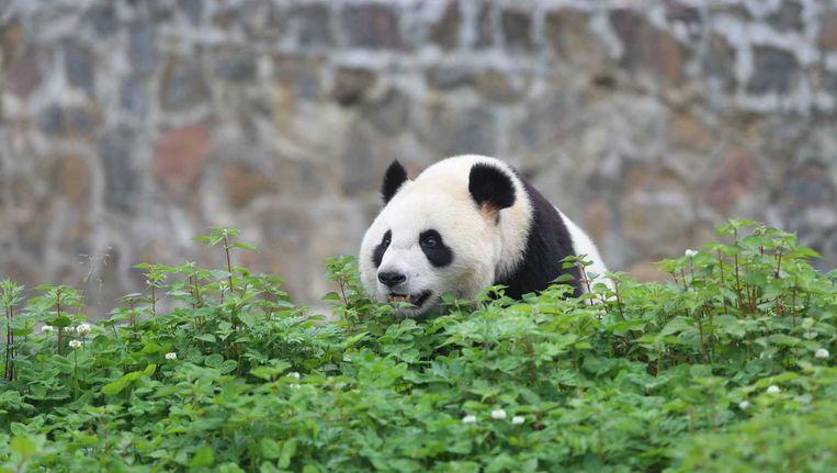 Vrouwtjespanda Wu Wen, een van de twee panda's die naar Ouwehands Dierenpark in Rhenen gaan. Verzorgers van het Dierenpark zijn in China om kennis te maken met de panda's. Beeld anp