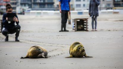 Vier zeehondenpups zoeken de vrijheid