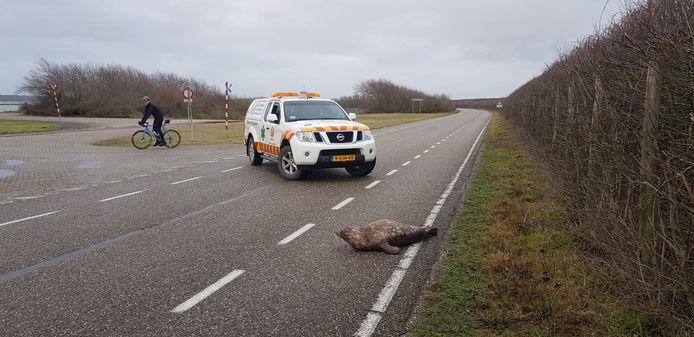 Het Reddingsteam Zeedieren is op tijd om deze zeehond van de parallelweg van de Brouwersdam te halen.