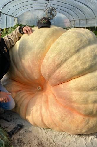 """Mario (48) mikt op wereldrecord met pompoen van ruim 1.000 kilo: """"Van een pitje naar dit op honderd dagen"""""""