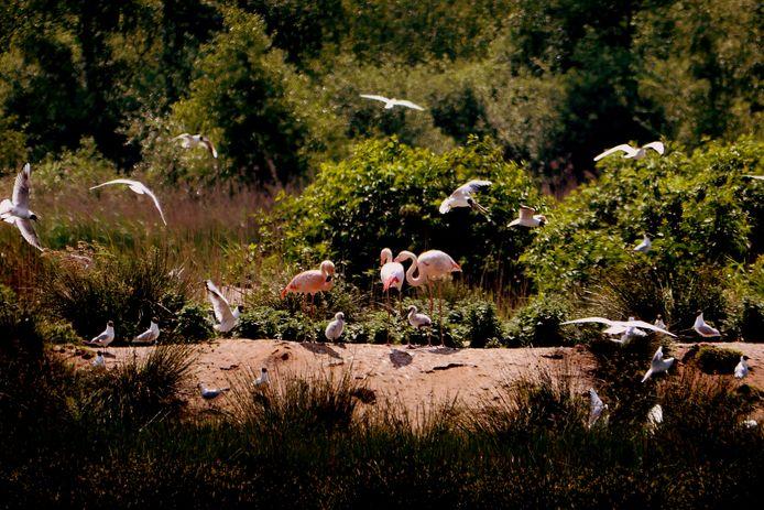 Natuurfotograaf Hubert Stroetmann uit Vreden heeft twee grijze flamingokuikens gefotografeerd in het Zwillbrocker Venn.