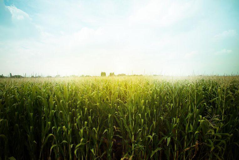 Het Vlaams Instituut voor Biotechnologie bevestigt het bestaan van de veldproef, maar geeft de locatie ervan niet vrij. Beeld Thinkstock