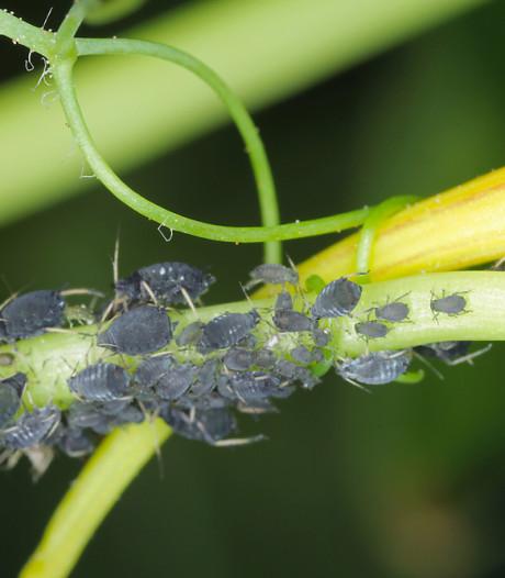 Simpele manieren om bladluis te bestrijden