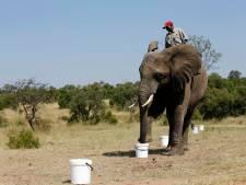 Honderden olifanten in Afrika 'gebroken' voor toerisme