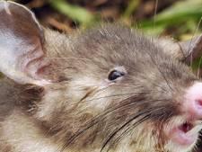 """Découverte en Indonésie d'un rat """"au nez plat"""""""