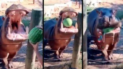 Zot, zotter, zotst: koppel onthult geslacht van baby door watermeloen in bek van nijlpaard te gooien