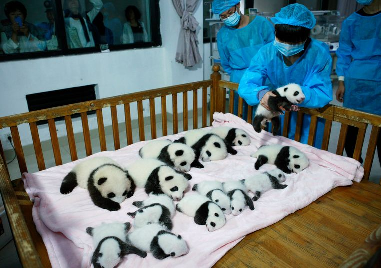 A breeder puts a giant panda cub into a crib at Chengdu Research Base of Giant Panda Breeding in Chengdu, Sichuan province, September 23, 2013. Fourteen new joiners to the 128-giant-panda-family at the base were shown to the public on Monday, according to local media. REUTERS/China Daily (CHINA - Tags: SOCIETY ANIMALS) CHINA OUT. NO COMMERCIAL OR EDITORIAL SALES IN CHINA Beeld REUTERS