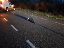 Bijzondere weggebruiker: politie treft zeehondje aan op N57