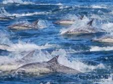 Japan gaat door met afslachten walvissen