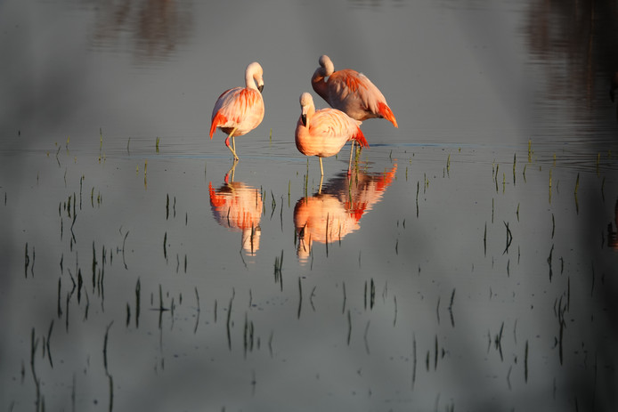 De eerste flamingo's zijn terug in het Zwillbrocker Venn voor de start het broedseizoen.
