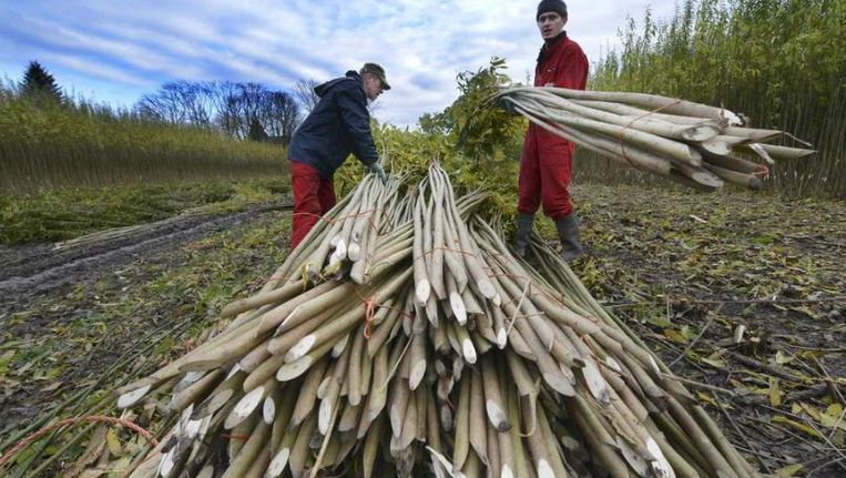 Arbeidsmigranten uit Oost-Europa aan het werk bij rijshouthandel Van Schaik in Ingen. Beeld William Hoogteyling/HH