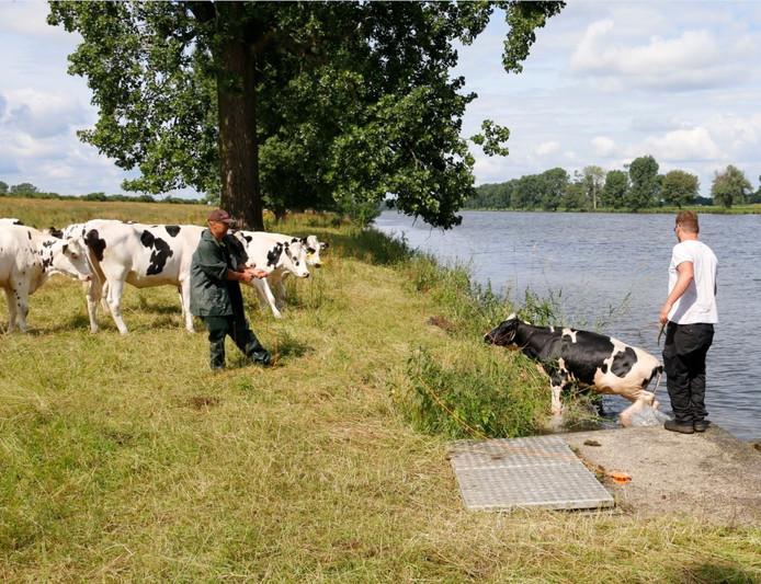 Het kalfje wordt op het droge geholpen, terwijl de koeien links kijken of alles goed gaat.