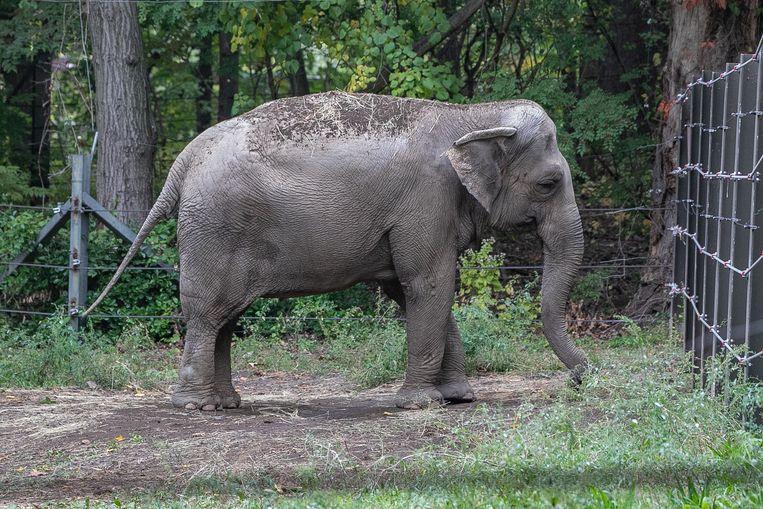 De Aziatische olifant Happy (49) woont in een dierentuin in The Bronx, in New York. Ze is de enige in haar hok. Beeld Gigi Glendinning